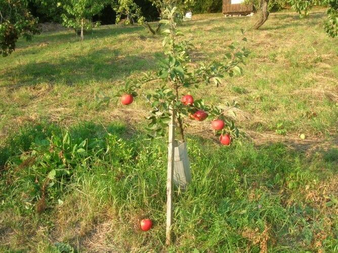 ... köstlich diese frischen knackigen wohlschmeckenden Äpfel (von einer alten Sorte), bei guter Lagerung halten sie bis in den kommenden Frühling hinein, ...